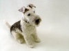 Arnold, the Wire Fox Terrier, needle felted
