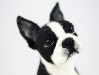 Bella the needle felted Boston terrier