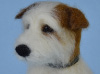 Bom the Jack Russell terrier custom needle felted sculpture