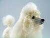 miniature poodle, felted