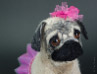 Olivia the little dancer, pug puppy handmade by needle felting